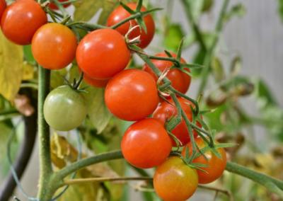 Přírodní hnojivo pro rychlý růst rajčat bez chemie