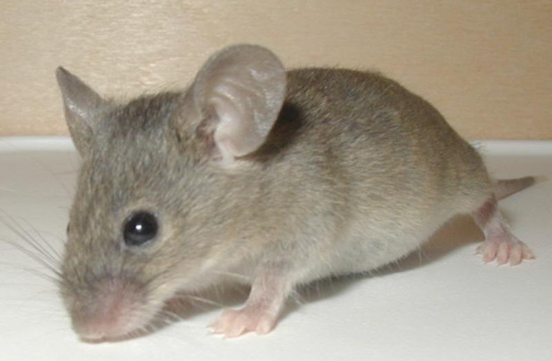 Tipy, jak se efektivně zbavit myší