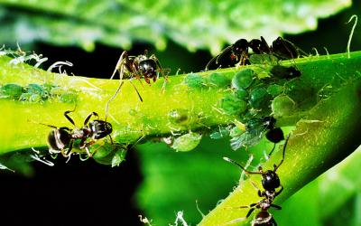 Jak na mravence ve skleníku a v zahradě